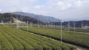 Uji Matcha tea farm